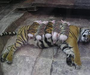 tiger, pig, and animal image