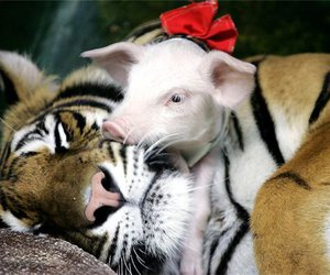 pig, tiger, and cute image