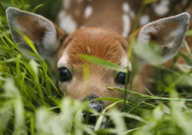 Whitetail Deer Fawns uploaded by cat on We Heart It