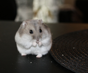 hamster, cute, and happy image