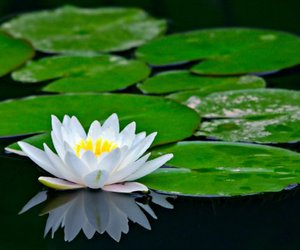 flower, outdoors, and water lily image