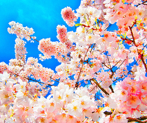 bloom, cherry, and cherry blossoms image