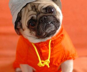 adorable, dog, and pug image