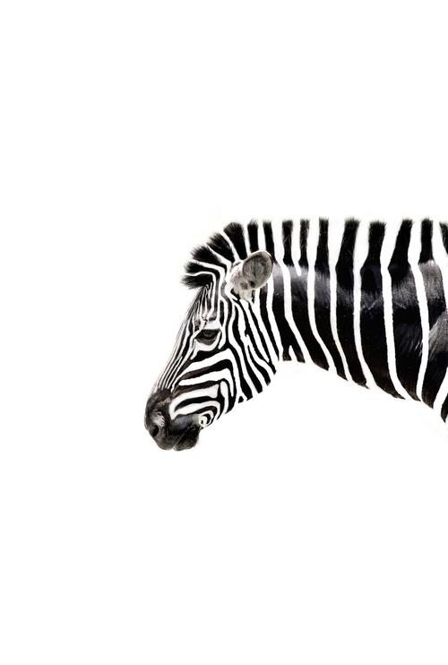 black, white, and zebra image