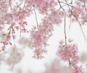 flowers, pink, and cherry blossom image