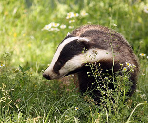 badger, nature, and puff image