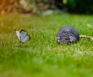 butterfly, mouse, and rat image