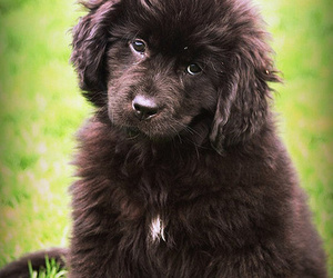 puppy, newfoundland dog, and its so fluffy image