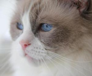 blue eyes and cats image