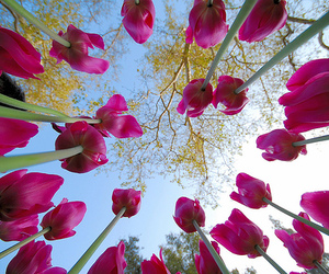 flowers, tulips, and sky image