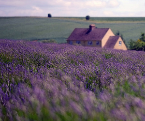 amazing, beauty, and lavender image