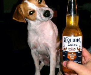 animals, beer, and jack russel image