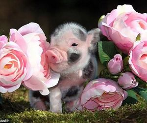 pig, animal, and rose image