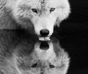 wolf, animal, and water image