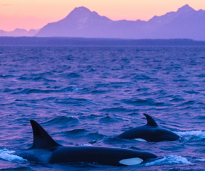 ocean, nature, and orca image