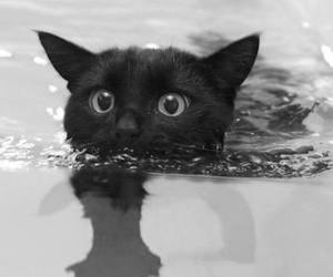 black and white, cat, and swimming image