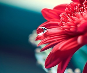 flowers, drop, and red image