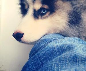 blue eyes, dog, and malamute image