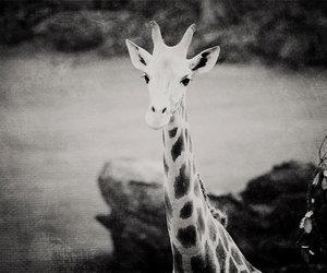 black and white and giraffe image