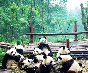 panda, animal, and nature image