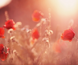 flowers, nice, and poppies image
