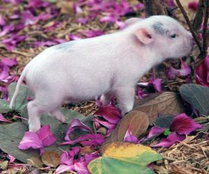 teacup pig, cute, and squee image