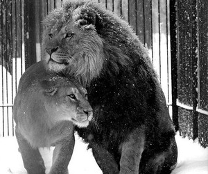 black and white, couple, and lion image