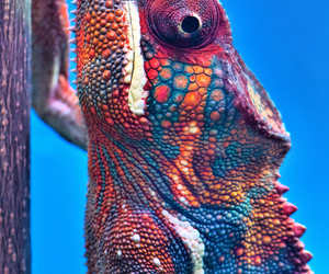 animals, colors, and chamaleon image