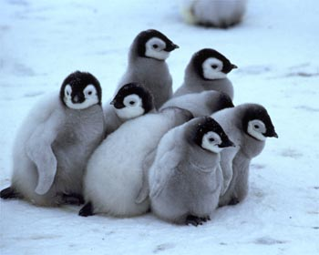 Top 10 Cutest Baby Penguins Bogoboo Funny People Photos