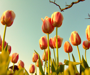 tulips, flowers, and nature image