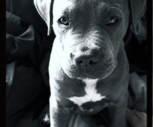 grey, pitbull, and puppy image