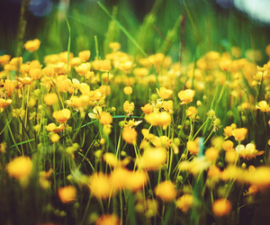 buttercup, field, and flowers image