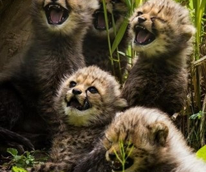 cubs, cheetah, and laugh image
