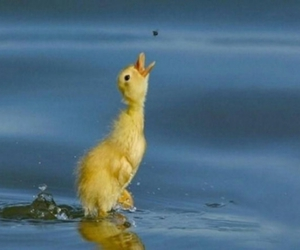 duck, duckling, and water image