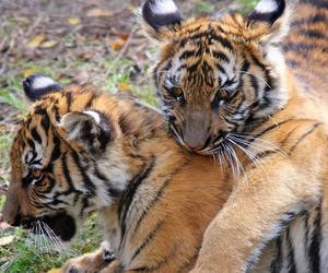 beautiful, tiger, and photo image