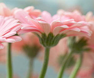 pink, flowers, and macro image