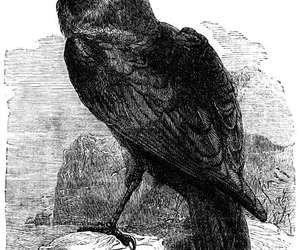 raven, bird, and dark image