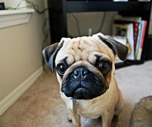 pug, baby, and puppy image