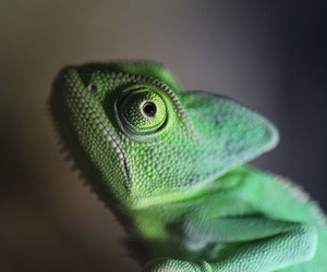 awh, colorful, and chameleon image