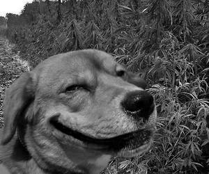 cannabis, crazy, and dog image