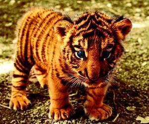 baby, tigre, and beautiful image