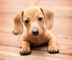 adorable, dachshund, and lovely image