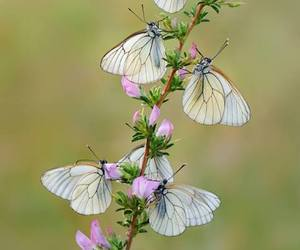 flower, nature, and butterfly white image