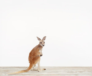 animal, kangaroo, and cute image