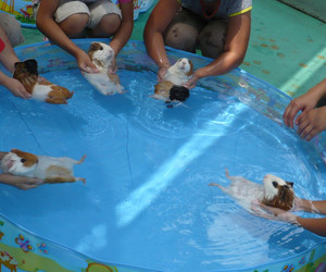 guinea pig, cute, and pool image