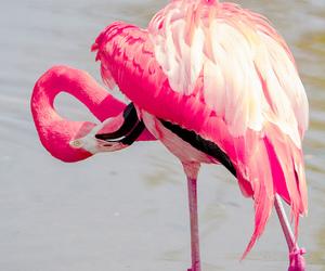 pink, animal, and flamingo image
