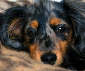 animal, dachshund, and dog image