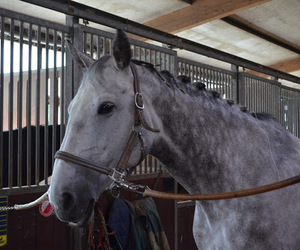 warmblood, competition, and equestrian image