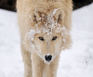 wolf, snow, and beautiful image