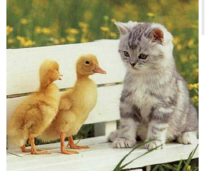 adorable, ducks, and kitten image